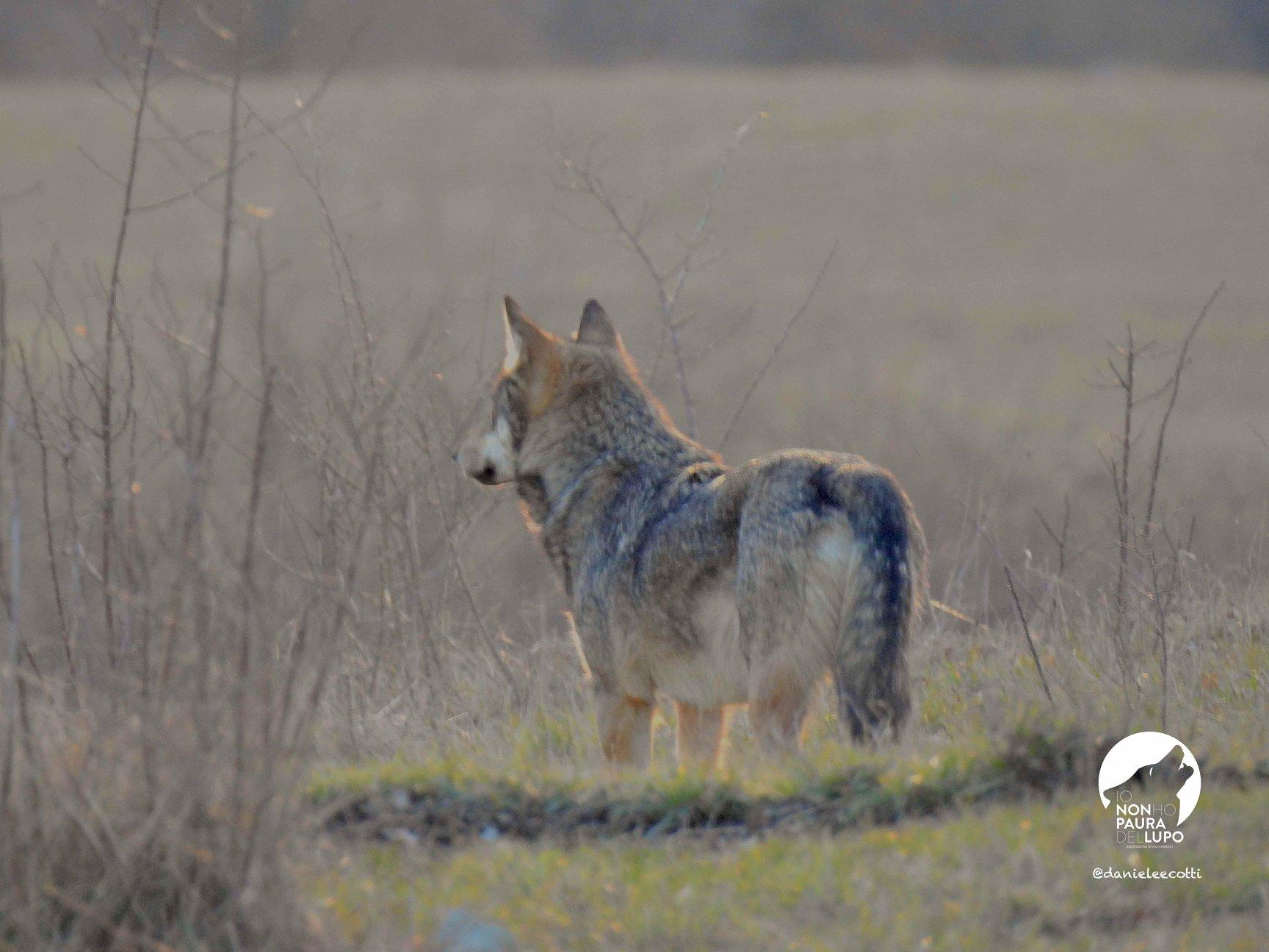 Il ritorno del lupo2
